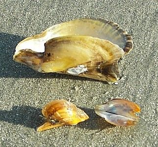Atlantic Wing Oyster