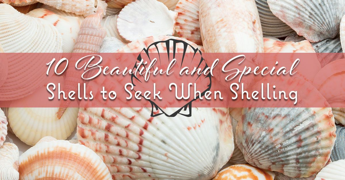 10 Beautiful and Special Shells to Seek When Shelling