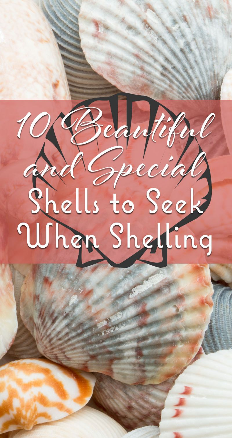 10 Beautiful and Special Shells to Seek When Shelling Pin