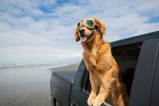 Dog hanging out of car | Sunset Vacations