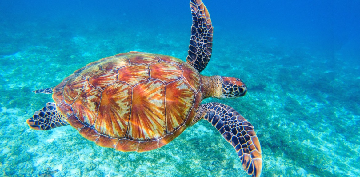 sea turtle swimming in the ocean | Sunset Vacations