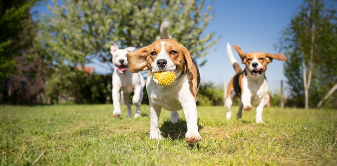 dogs playing at dog park | Sunset Vacations