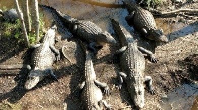 alligators seen during Swamp Boat Eco Tour | Sunset Vacations