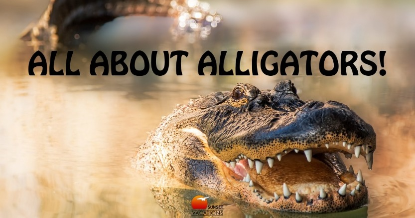 All About Alligators | Sunset Vacations
