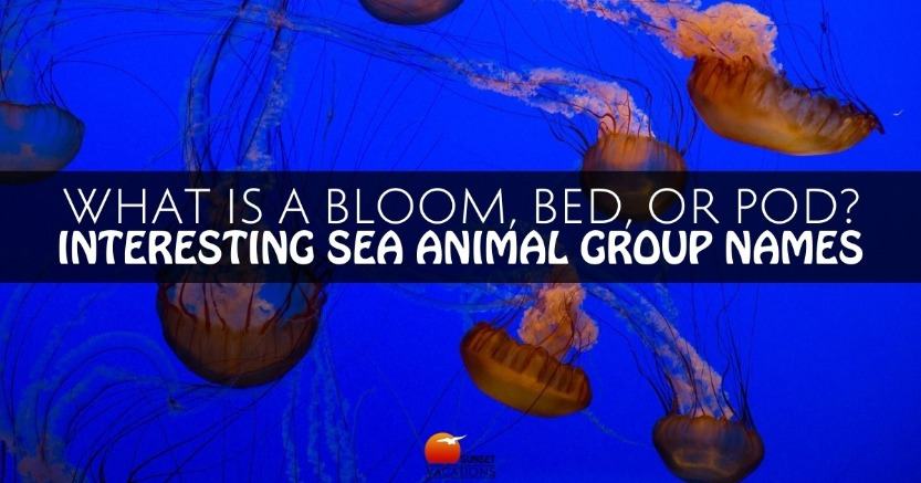 What Is a Bloom, Bed, or Pod? Interesting Sea Animal Group Names