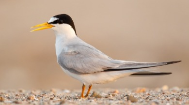 least tern | Sunset Vacations