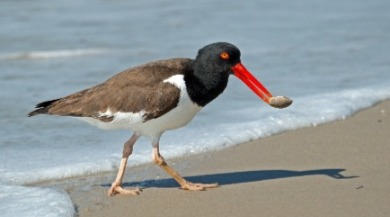 american oystercatcher | Sunset Vacations
