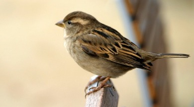 winter sparrow | Sunset Vacations