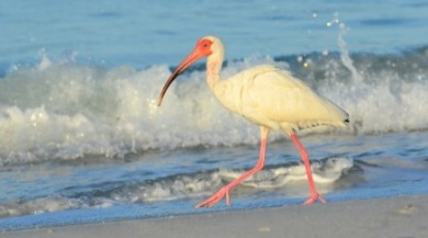 white ibis | Sunset Vacations