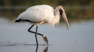 wood stork | Sunset Vacations