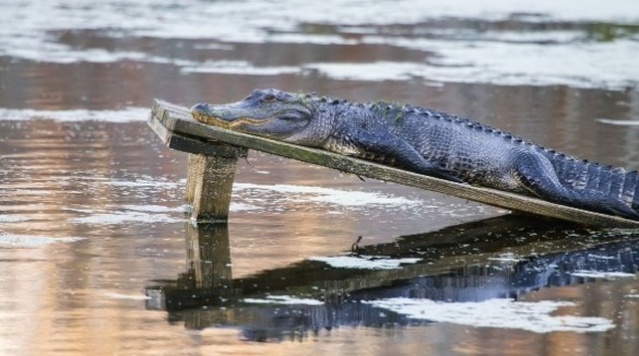 American Alligator | Sunset Vacations