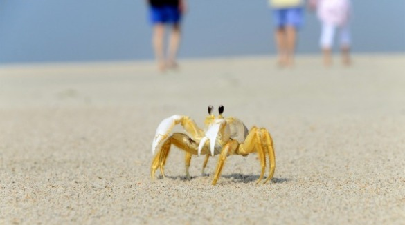 Ghost Crab | Sunset Vacations