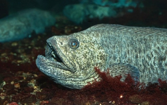 Wolffish | Sunset Vacations