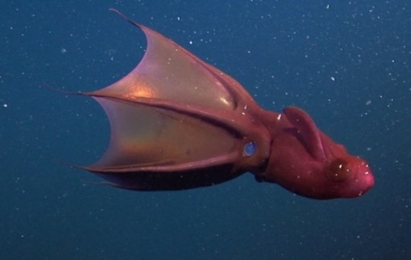 Vampire Squid | Sunset Vacations